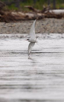Arctic tern nearly dipping its wing in the Mulchatna River.