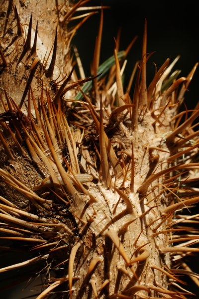 Devil's club is covered in needle-sharp thorns that break off and fester beneath the skin.