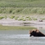 Bear cooling off in a river at Cape Douglas