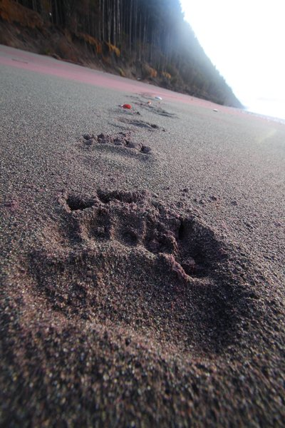 A line of bear tracks across garnet sand on the Gulf of Alaska
