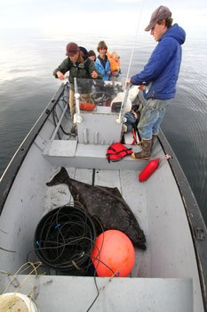A large halibut caught as part of the rural Alaskan subsistence fishery
