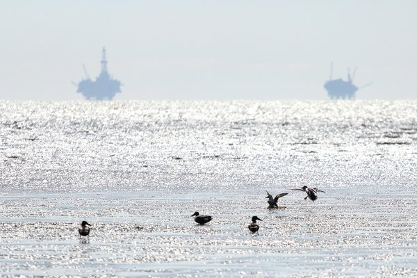 Ducks in shallow water at trading bay, near oil rigs.