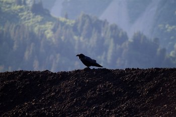A raven perches on top of a coal pile near the Seward docks.
