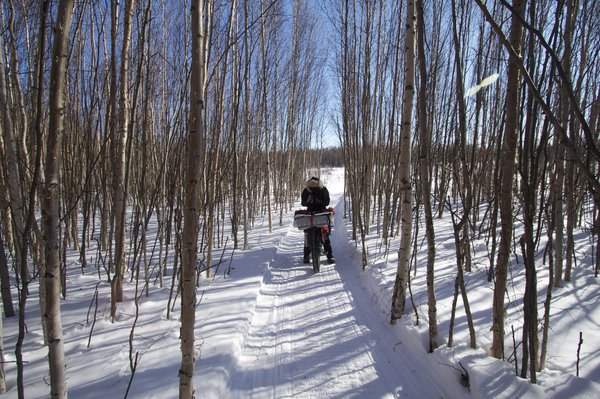 Aspen forest on the Iditarod trail near the village of Nikolai.