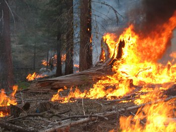 Fire burns through a ponderosa grove in northern Washington State, in a controlled burn.  The primary author participates as a USFS firefighter.