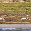 Flamingoes on Lake Titicaca