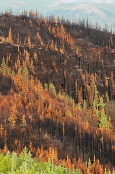 Fire left this forest a tapestry of colors... black charcoal, red and yellow singed leaves, and green untouched forest.