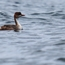 Grebe on Lake Titicaca