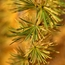 Green-gold sprays of larch needles
