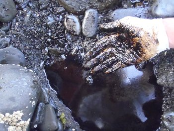 Lingering 1989 Exxon Valdez oil in beach sediments on Smith Island in Prince William Sound, taken on August 26, 2010.