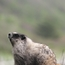 Marmot looking up