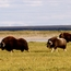 Musk oxen on the move