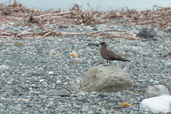 A Parasitic Jaeger (Stercorarius parasiticus) nests on a tsunami scoured beach in Taan Fjord.
