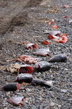 Fish heads and tails discarded on the beach at Clark's Point in Bristol Bay.