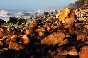 Sea lions hauled out on a boulder beach stained brown with repeated use, near the Malaspina Glacier