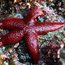 Sea star (possibly Henricia sp.)
