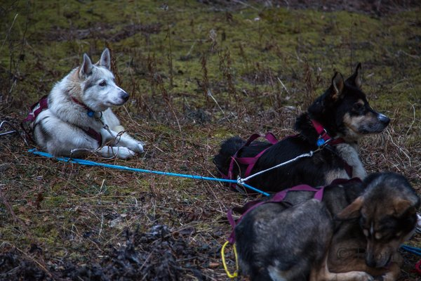 There was very little snow for much of the first third of the Iditarod Trail in 2014.