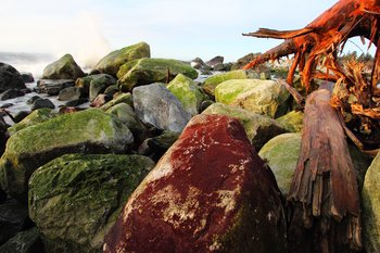 A storm at Sitkagi Lagoon tossed this red-algae-covered boulder far above its normal place in the intertidal zone.  Boulders are less sensitive to erosion than sand or gravel, but even the boulder beaches are changing quickly.