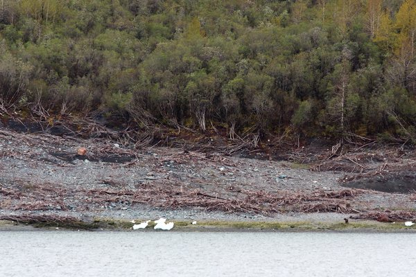 A bear wanders along the shore of Taan Fjord, exploring areas devastated by the 17 Oct 2015 tsunami.